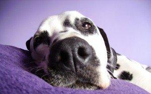 Animals Dogs Dalmatian