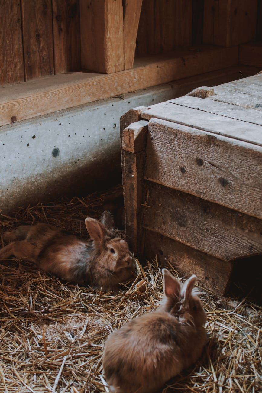 photo of rabbits lying on hay
